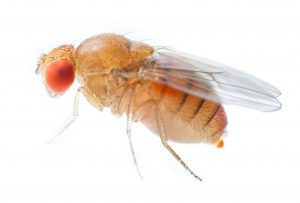 Close up new born fruit fly in studio