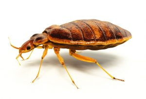 bed-bug-free
